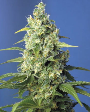 Honey Peach Auto CBD Autofiorente Sweet Seeds