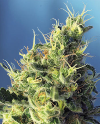 Sweet Pure CBD semi Sweet Seeds Fotodipendenti